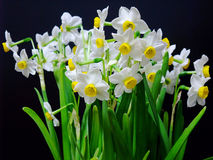 Isolated daffodil Stock Photography