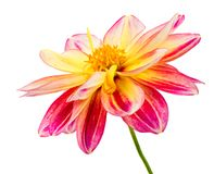 Isolated dahlia flower blossom. Macro of an isolated dahlia flower blossom Royalty Free Stock Photography
