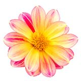Isolated dahlia flower blossom. Macro of an isolated dahlia flower blossom Stock Photos