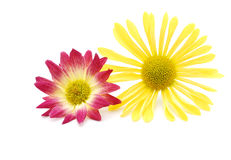 Isolated daisies. Decorative daisies in isolated white Royalty Free Stock Images