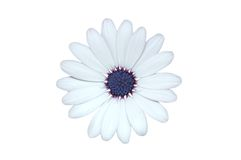 Isolated daisy. Daisy with dew drops isolated on white Stock Photo