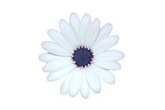 Isolated daisy Stock Photo