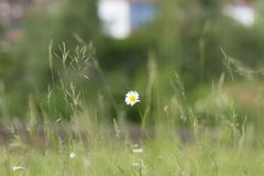 Isolated daisy Asteraceae. Isolated whaite daisy Asteraceae with green blurred background in wild meadow and corn stems with seed heads stock photo