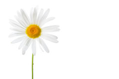 Isolated daisy bud Royalty Free Stock Images