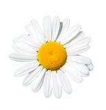 Isolated daisy. On white background Stock Photo