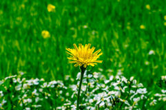 Isolated dandelion flower in the field. royalty free stock photo