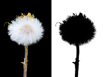 Isolated Dandelion Stock Photography