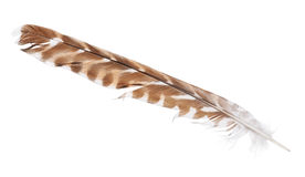 Isolated dark brown falcon feather with light spots Stock Photography
