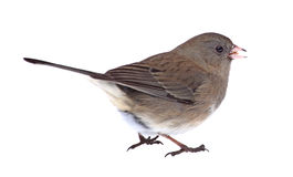 Isolated Dark-eyed Junco Stock Photography