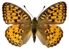 Isolated Dark Green Fritillary butterfly royalty free stock photo