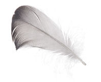 Isolated dark grey wild goose feather Stock Photos