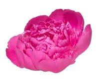 Isolated dark pink dense peony bloom Royalty Free Stock Photos