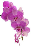 Isolated dark pink orchid blossom cluster Stock Image