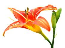Isolated Day-lily Stock Photography