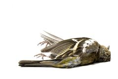 Isolated dead bird Stock Images