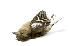 Isolated dead bird. On wite Royalty Free Stock Photo