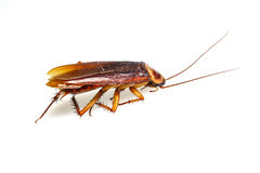 Isolated dead cockroach on white Stock Image