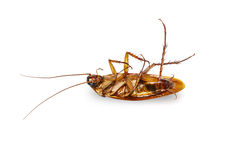 Isolated dead cockroach on white Stock Photography