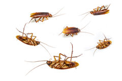 Isolated dead cockroach on white Royalty Free Stock Photos