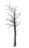 Isolated dead dry tree Stock Image