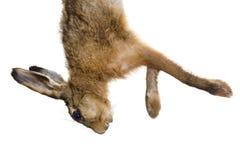 Isolated dead hare Stock Photos