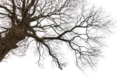 Isolated Dead Tree Royalty Free Stock Images