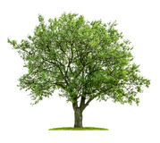 Isolated deciduous tree. On a white background Royalty Free Stock Photos