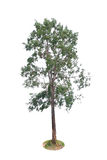isolated deciduous tree Royalty Free Stock Image