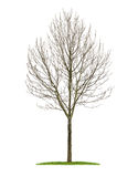 An isolated deciduous tree in the winter Royalty Free Stock Images