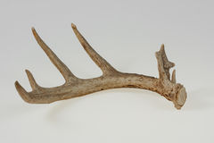 Isolated Deer Antler Stock Images