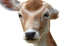 Isolated deer hind getting rid of fleas. Fallow deer hind portrait isolated over white background, getting rid of fleas using her ear ( Dama Royalty Free Stock Photography