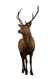 Isolated deer Royalty Free Stock Images