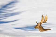 Isolated Deer on the white snow background Royalty Free Stock Photo