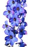 Isolated delphinium flower Stock Photo