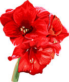 Isolated detailed image of amaryllis flower on a. Stem in watercolor style 2 Royalty Free Stock Photo