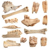 Isolated different animal bones. Isolated collection of different animal bones, over white background; these are from animals hunted and eaten by cavemen long Royalty Free Stock Photography