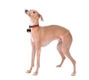 Isolated dog Royalty Free Stock Photos
