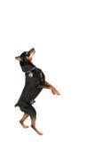 Isolated dog Royalty Free Stock Photo