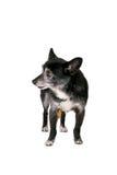 Isolated dog Stock Photography