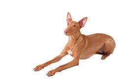Isolated dog Stock Image