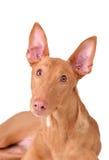 Isolated dog Royalty Free Stock Images