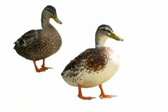 Isolated domestic duck female, Anas platyrhynchos on white background Royalty Free Stock Photo