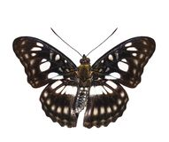 Isolated dorsal view of Black-veined sergeant butterfly & x28; Athyma Royalty Free Stock Images