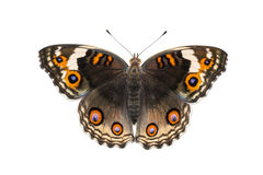 Isolated dorsal view of female blue pansy butterfly  Junonia or Royalty Free Stock Image