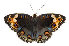 Free Isolated Dorsal View Of Blue Pansy Butterfly Junonia Orithya L Royalty Free Stock Photo - 98225635