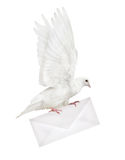 Isolated dove carrying light envelope Stock Photos