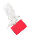 Isolated dove carrying red envelope Royalty Free Stock Photo