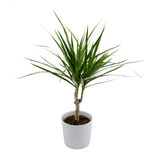 Isolated Dracena Royalty Free Stock Photography