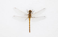 Isolated dragon fly Royalty Free Stock Images