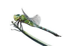 Isolated Dragonfly Stock Images